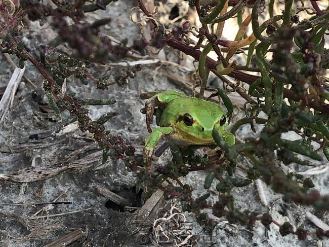 사진1-1. 화옹지구에서 발견된 수원청개구리1.jpg